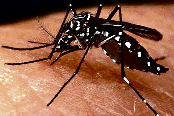 Mosquito transmisor del  dengue aparece en Ventanilla