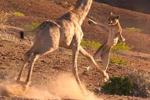 Espectacular defensa de jirafa ante ataque de leona  (VIDEO)