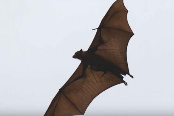 Filipinas: Hallan 'murciélago zorro volador' de casi 2 metros