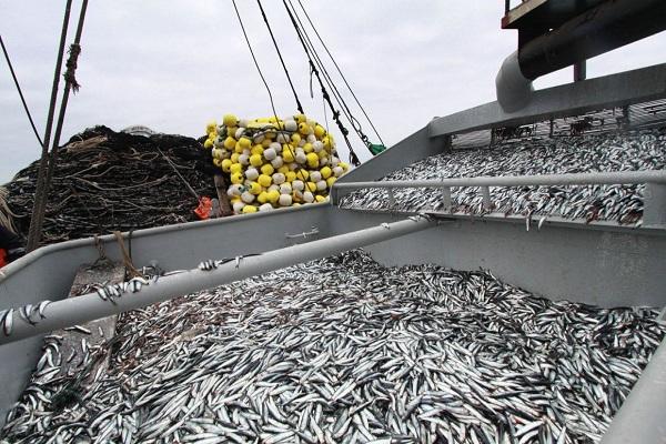 Cierran zonas marítimas por anchoveta