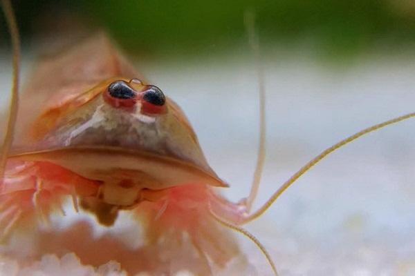"Crustáceo prehistórico ""revive"" tras una fuerte lluvia (video)"