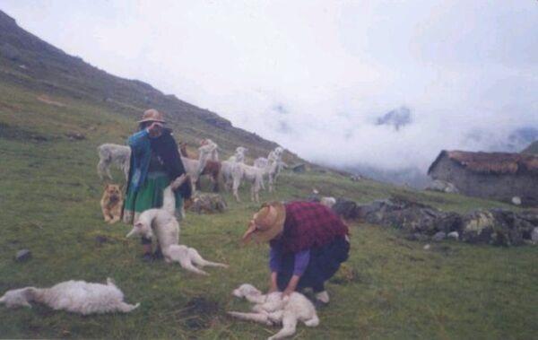 Arequipa: Mueren 300 camélidos por descenso de temperaturas