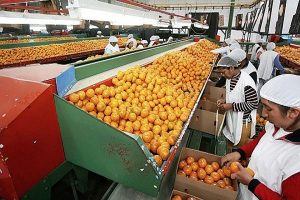 Perú es el primer exportador de mandarina, clementina y tangelo de América