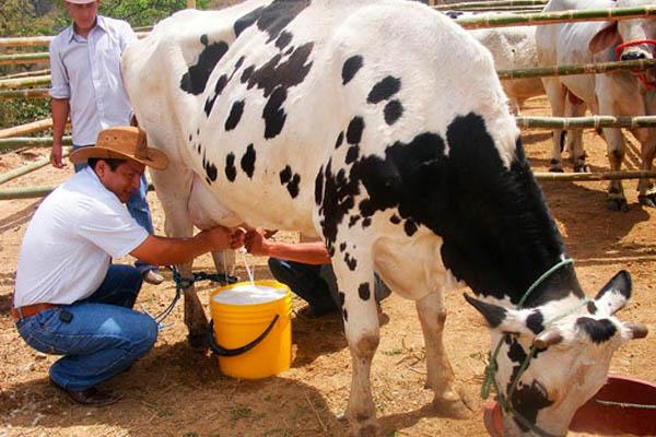 Pequeños ganaderos reclaman inclusión en la industria lechera
