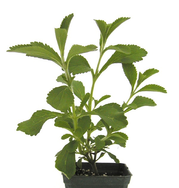 Stevia es ideal para combatir la diabetes