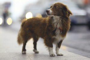 Perú: Más de 400 mil mascotas se pierden al año por falta de identificación