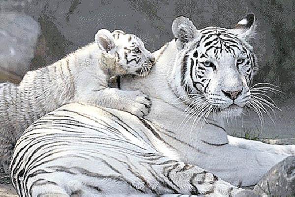 Exhiben tres tigres blancos de bengala en zoológico de Huachipa