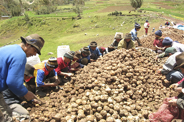 Perú produce 5.1 millones de toneladas de papa al año