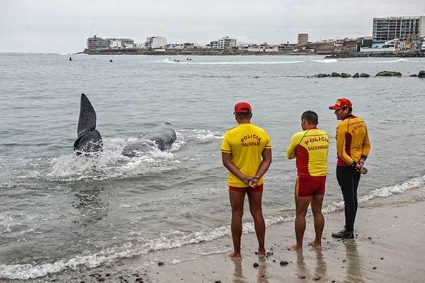 Cachalote muere tras quedar varado en playa de San  Bartolo