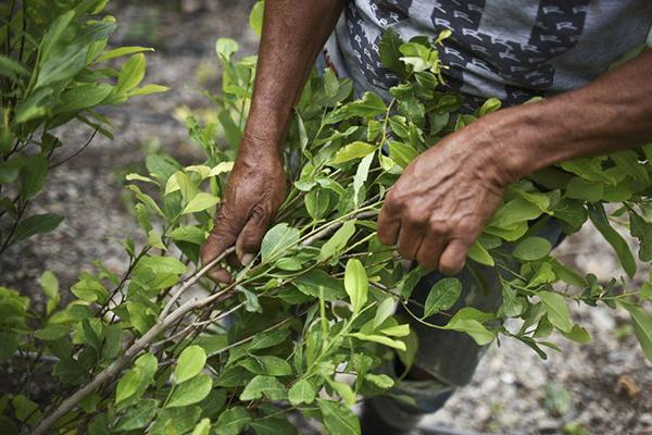 Colombia tiene más de 200 mil has. de coca