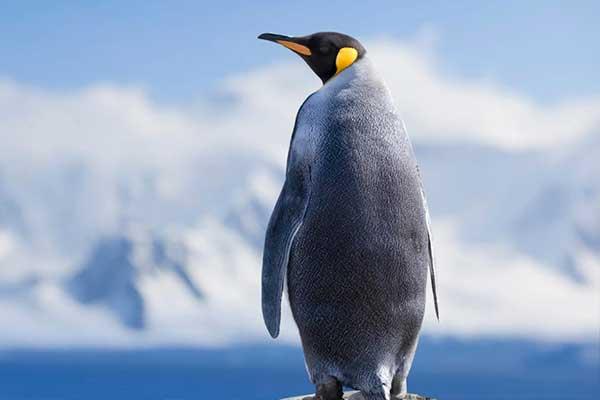 Pingüinos en riesgo de extinguirse