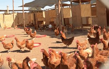 Productores de Arequipa comercializan huevos ecológicos