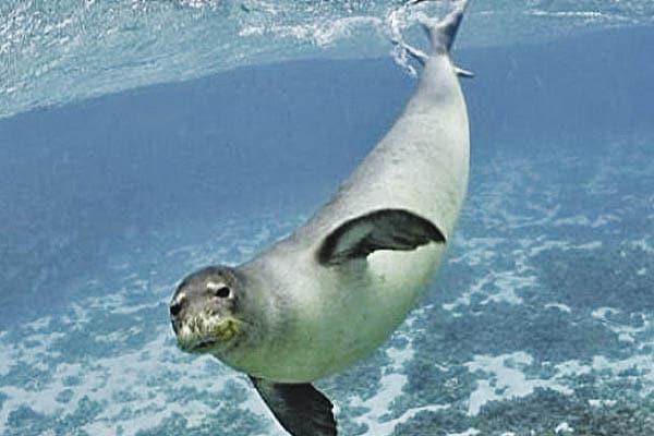 Descubren una nueva especie de foca