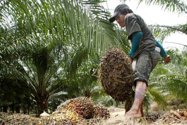 Unos 80 mil palmicultores en riesgo de volver a sembrar coca