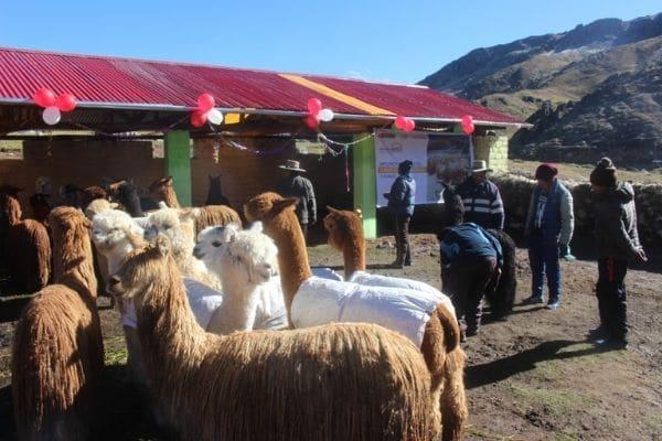 MIDAGRI: 259 000 cabezas de ganado fueron protegidas durante heladas